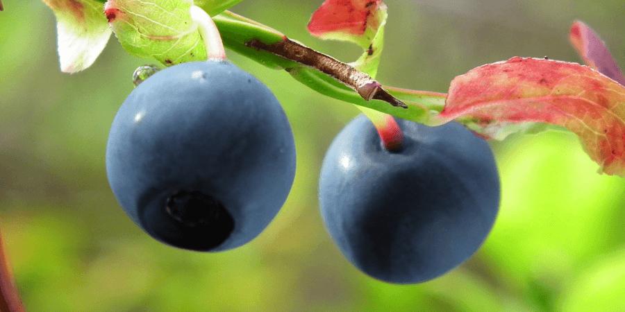 bilberry-improves-eyesight-nightvision (1)
